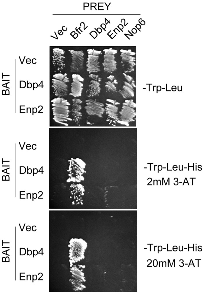 Directed yeast two-hybrid assays. Yeast strain AH109 was transformed with bait plasmid <t>pGBKT7</t> (Vec) or its derivative pGBK-DBP4 or PGBK-ENP2, and prey plasmid pGADT7 (Vec) or its derivatives pGAD-DBP4, pGAD-ENP2, pGAD-BFR2 and pGAD-NOP6. The bait and prey plasmids, respectively, carry TRP1 and LEU2 auxotrophic markers that allow growth on medium lacking tryptophan and leucine (upper panel). Interactions between bait and prey hybrid proteins activate transcription of the HIS3 reporter gene, which is monitored by growth on medium lacking histidine; addition of 2 or 20 mM 3-AT to this medium enhances the stringency of the HIS3 reporter, allowing detection of the strongest two-hybrid interactions (middle and lower panels, respectively).