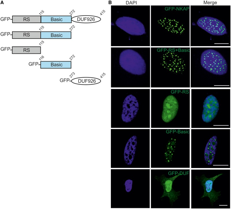 Subcellular localization of NKAP. ( A ) Schematic representation of NKAP polypeptides used in this study. ( B ) Full length NKAP, Rs + Basic domain, RS domain, Basic domain and DUF 926 domain were tagged with N-terminal GFP and expressed in HeLa cells that were fixed and stained with DAPI. Bar, 10 µm.