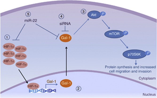 A schematic showing a proposed mechanism of Gal-1 involvement in the HIF/mTOR signaling axis in renal cell carcinoma. (1) Increased HIF-1 α because of the hypoxic tumor microenvironment (2) translocates to the nucleus and transcriptionally activates the LGALS1 gene. Gal-1 protein then, by a mechanism that has yet to be elucidated, (3) activates Akt by phosphorylating S473, which in turn phosphorylates mTOR at S2448 and p70S6 kinase to result in increased protein synthesis. This pathway can be blocked by the addition of (4) siRNA that is directed towards Gal-1. We also showed that the pathway can be affected by miRNA as (5) miR-22 can target both Gal-1 and HIF-1 α .