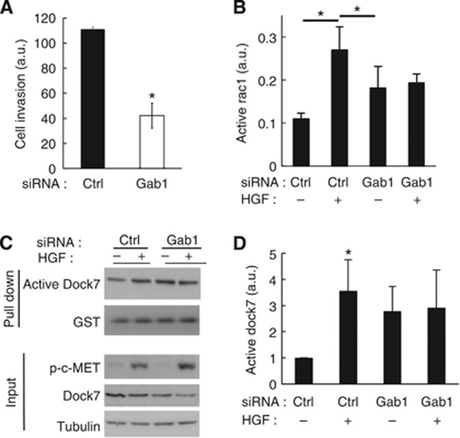 Gab1 mediates HGF-induced cell invasion and activation of Dock7 and Rac1. ( A ) Gab1 depletion reduces HGF-induced U87R cell invasion. Experiments were performed 3 days after siRNA transfection. ( B ) Gab1 depletion inhibits HGF-induced Rac1 activation measured by G-Lisa assay. Experiments were performed 3 days after siRNA transfection. ( C ) The role of Gab1 in HGF-induced Dock7 activation. Experiments were performed 3 days after transfection. Active Dock7 was pulled down using GST-Rac1-15A and subsequently measured by western blotting. ( D ) Quantification of Dock7 activation data from eight independent experiments, exemplified in ( C ). Activated Dock7 was normalised to the amount of GST-Rac1-15A in the pull down. * P