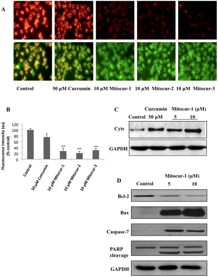 Effect of mitocurcuminoids and curcumin on mitochondrial membrane potential and apoptotic markers. ( A ) Cells were treated with 10 µM Mitocur-1, 2, 3 or 50 µM curcumin for 4 h. Then washed with PBS and incubated with JC-1 dye (5 µg/ml) for 20 min to measure the loss of mitochondrial membrane potential. Fluorescence images were captured in both FITC and rhodamine filters and images showing J-aggregates are represented. ( B ) shows quantification of images (J-aggregates) shown in A. ( C ) Mitochondria and cytosolic fractions were isolated using ProteoExtract Cytosol/Mitochondria Fractionation Kit and cytochrome c levels were measured by Western blot analysis. ( D ) MCF-7 cells were treated with Mitocur-1 (5 and 10 µM) for 24 h. Total protein was resolved by SDS-PAGE electrophoresis and Western blot analysis was performed using respective antibodies for Bcl2, Bax, caspase-7 and PARP. **, significantly different compared to control (p