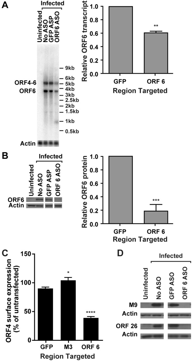 An antisense oligonucleotide to ORF 6 decreases ORF 6 transcript and protein expression and late-gene expression. 3T12 cells transfected with ASOs targeting ORF 6, M3, or GFP (negative control) or left untransfected (No ASO) were infected with MHV68. (A) Representative Northern blot for ORF 6 or actin transcripts at 14 hpi and corresponding quantification of ORF 6 monocistronic transcript levels normalized to those of actin (MOI = 10; values are means and standard errors of the means [SEMs] from 3 experiments; **, P