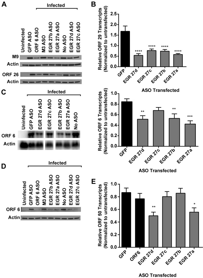 Effect on immediate-early, early, and late genes by EGR 27. 3T12 cells transfected with GFP or ASOs targeting EGR 27 or left untransfected (No ASO) were infected with MHV68 (MOI = 10) and analyzed for protein (A and D) or transcript levels (B, C, and E). See Fig. 5 and also Table S1 in the supplemental material for ASO locations. (A) Representative Western blots for M9 and ORF 26 proteins at 18 hpi (2 or 3 experiments). (B) ORF 29 transcript levels at 14 hpi. RNA (1 µg) was reverse transcribed (RT), and cDNA was analyzed by qPCR using primers designed to detect spliced ORF 29 transcripts or GAPDH. Data are relative ORF 29 abundance normalized to GAPDH transcript abundance and compared to untransfected cells by the ∆∆ C T method (means and SEMs from 3 to 8 experiments). (C) Representative Northern blot for ORF 6 and actin at 14 hpi and corresponding quantification of ORF 6 transcript levels normalized to actin and compared to the value for untransfected cells (means and SEMs from 5 to 7 experiments). (D) Representative Western blot for ORF 6 and actin at 18 hpi (3 experiments). The representative experiment is the one whose results are shown in panel A. (E) ORF 50 transcript levels at 14 hpi measured by qRT-PCR, as for panel B. Statistical analyses were performed by one-way ANOVA with Dunnett's posttest. *, P