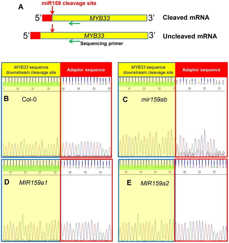 MiR159a variants with up to two central mismatches can direct target cleavage at the canonical miR159 cleavage site. (A) Schematic representation of MYB33 PCR products after a modified 5′-RACE procedure to determine the proportion of degraded MYB33 mRNA that corresponds to miR159-guided cleavage products. Red box: RNA Oligo adaptor; Yellow box: MYB33 sequences; Red arrow: canonical miR159 cleavage site; Green arrow: MYB33 sequencing primer. (B–E) Sequencing chromatographs of the cDNA-adaptor region from 5′-RACE recovered 3′ MYB33 transcripts in: (B) Col-0, (C) mir159ab , (D) MIR159a1 and (E) MIR159a2 plants. Peaks from MYB33 sequence downstream of the miR159 cleavage sites are highlighted in yellow, while those from the adaptor are left white. Three independent transgenic lines were checked for each construct and the results were identical.