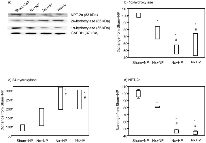 Immunoblotting for 1α-hydroxylase, 24-hydroxylase, NPT-2a, and glyceraldehyde-3-phosphate dehydrogenase (GAPDH) (a). Densitometric quantification of the corresponding bands was performed using an image analyzer, 1α-hydroxylase (b) 24-hydroxylase (c), and NPT-2a (d). Data are presented after normalization to GAPDH expression and are depicted as the percentage change from the respective controls (Sham+NP). Data are shown as mean ± s.e. ( n = 4 each). *P