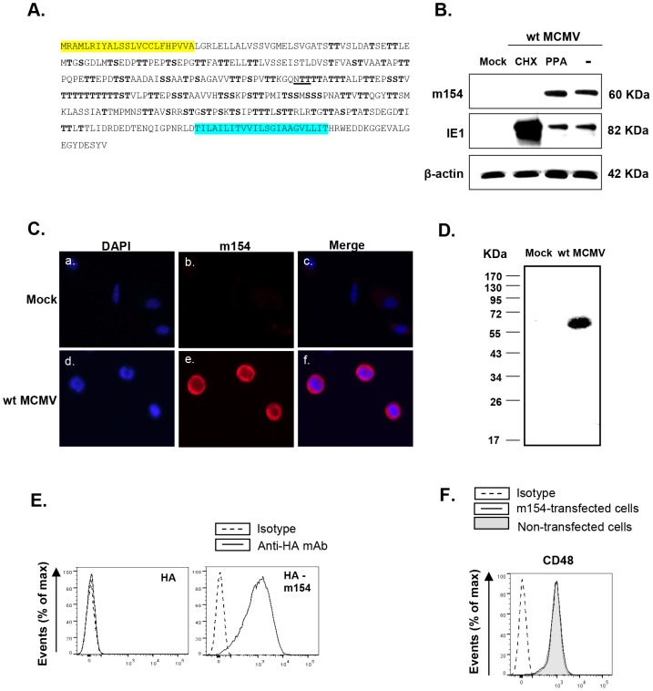 Analysis of MCMV m154. (A) The deduced amino acid sequence of m154 is shown, with the predicted leader peptide in yellow and the transmembrane region in blue. The putative N-linked glycosylation site (underlined) and O-glycosylation sites (bold) are indicated. (B) Peritoneal macrophages were mock-infected (mock) or infected with wt MCMV at an moi of 10 in the absence (lane -) or presence of cycloheximide and actinomycin D (lane CHX), or phosphonoacetic acid (lane PPA). Cell lysates were prepared at 72 hpi, except for the cycloheximide treated samples that were collected 16 hpi, separated under reducing conditions by SDS-PAGE (10%), and transferred to a nitrocellulose membrane. The blot was proved with the anti-m154 mAb or anti-MCMV IE1 (Croma 101) mAb followed by anti-mouse IgG HRP. A mAb anti-β-actin followed by an anti-rabbit IgG HRP was used as an internal control. (C) Peritoneal macrophages, either mock-infected or infected with wt MCMV at an moi of 10 for 72 h, were fixed, permeabilized, and stained with anti-m154 mAb followed by an anti-mouse IgG Alexa fluor 555. Nuclei were stained with the DAPI reagent. The cells were examined under a microscope at 405 nm (DAPI, panels a and d) and at 555–565 nm (Alexa-555, panels b and e). The overlaid images are shown in panels c and f. (×10 magnification). (D) Peritoneal macrophages, either mock-infected (mock) or infected with wt MCMV at an moi of 10, were surface-labeled with biotin. Cell lysates were prepared at 72 hpi and subjected to immunoprecipitation with anti-m154 mAb, followed by SDS-PAGE (10%) separation and Western blot analysis as indicated in B, using streptavidin-POD conjugate. Molecular weights in kilodaltons are indicated. (E) Flow cytometry analysis of 300.19 cells stably transfected with empty pDisplay vector expressing HA (left panel) or the construct HA-m154 (right panel) and stained after 24 h with biotin anti-HA mAb (black line) or isotype control (dashed line) followed by streptavidin-PE. (F) 300.1