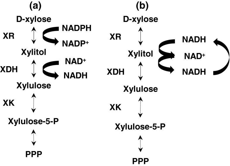 d -Xylose conversion in the PCP of a wild-type A. carbonarius , b mutant strain. XR xylose reductase, XDH xylitol dehydrogenase, XK xylulokinase, PPP pentose phosphate pathway