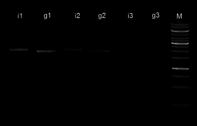 Gel electrophoresis of SQ-PCR reactions. Bands i1 , i2 , i3 represent 6, 2, and 0.2 % of total reaction volume loaded for insert. Bands g1 , g2 , and g3 represent 6, 2 and 0.2 %, respectively, of total reaction volume loaded for genomic fragment. M 1-kb DNA ladder