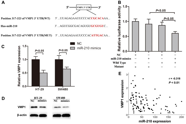 MiR-210 suppresses VMP1 expression by directly binding to its 3′-UTR. (A) The putative miR-210 binding sequences in VMP1 3′-UTR. (B) Luciferase activity assay was performed for the HEK293T cells cotransfected with pmiR-REPORT™ vectors containing WT-VMP1 3′-UTR or MUT-VMP1 3′-UTR sequences and miR-210 mimics. Data are presented as normalized fold change in luciferase activity. (C, D) VMP1 mRNA and protein were determined in HT-29 cells and SW480 cells transfected with miR-210 mimics or miR-negative control by qRT-PCR and Western blot, respectively. (E) Inverse correlation between miR-210 expression and VMP1 mRNA levels in CRC tissues was analyzed using Pearson's correlation analysis.