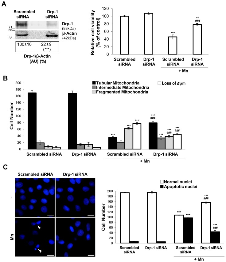 Drp-1 siRNA prevents Mn damage. Western blot analysis of Drp-1 protein in C6 cells transfected with pooled Drp-1 or control siRNA for 48 hours. Reprobing with an anti-β-Actin antibody was performed to normalize for protein loading. Results are expressed as a percentage of the respective control considered as 100%. Viability was measured by MTT assay ( A ); Quantification of mitochondrial morphology and Δψm dissipation analysis using MitoTracker Red CMXRos (75 nM) ( B ); Apoptotic nuclei were determined by Hoechst 33258 staining (arrowheads). Scale bar: 10 µm ( C ). Results are average of three individual experiments. Statistical significance, **p