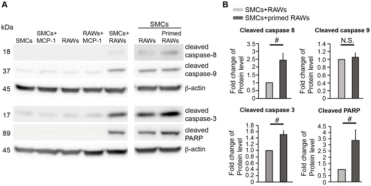 Activation of Caspase 8/Caspase 3-mediated cell death pathway in the co-culture. ( A ) Representative immunoblots of cleaved caspase-8, -9, -3, and –PARP in SMCs, RAWs, and co-cultures as indicated. RAWs were primed by treatment of MCP-1 (100 ng/ml) for 24 h prior to co-culture. Cells were harvested after 3 days of co-culture or individual culture. ( B ) Quantifications of Western blots for cleaved caspase-8, -9, -3, and -PARP from SMCs co-cultured with naïve or MCP-1 (100 ng/ml, 24 h) primed RAWs. Data are mean±SEM. n = 3∼6, # p