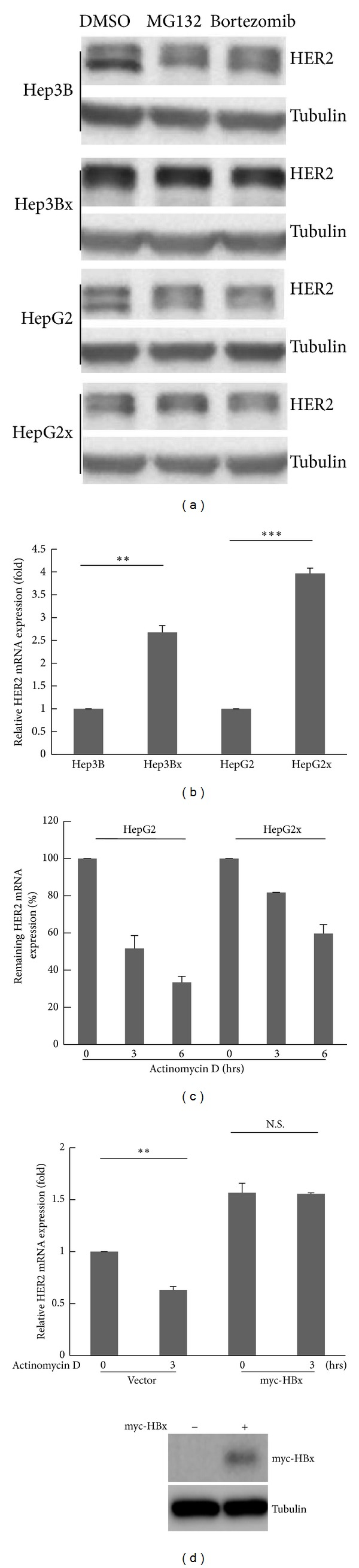 The HER2 mRNA expression was stabilized in HBx-expressing HCC cells. (a) The two HBx-paired HCC cells were treated with proteasomal inhibitors (MG132 and bortezomib) for 24 hrs. The HER2 protein expression was analyzed by Western blot ( N = 3). (b) The HER2 mRNA expression in two HBx-paired HCC cells was examined by RT-qPCR. The HER2 mRNA expression was normalized to actin expression. Statistical analysis was performed by Student's t -test. ** P