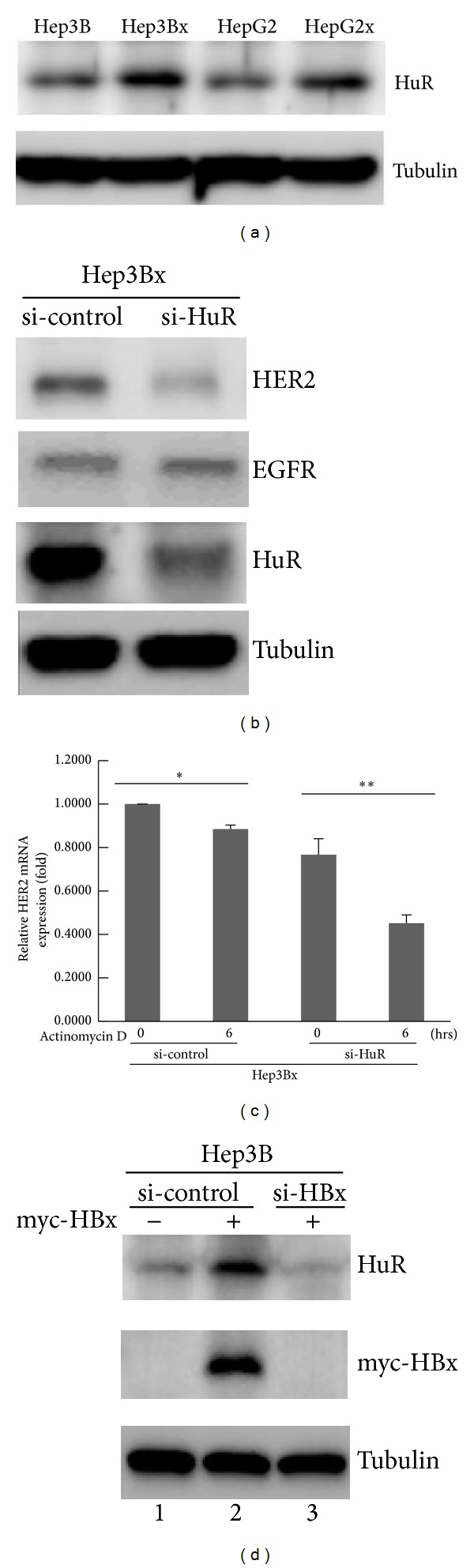 HBx increased <t>HER2</t> protein expression by HuR-dependent mRNA stabilization in HCC cells. (a) The HuR protein expression in HBx-paired HCC cells was examined by Western blot ( N = 4). (b) Hep3Bx cells were transiently transfected with either si-control or si-HuR for 4 days. The protein expressions of HER2, EGFR, and HuR were analyzed by Western blot ( N = 3). (c) Hep3Bx cells were transiently transfected with either si-control or si-HuR for 4 days, followed by the treatment of 5 μ M Actinomycin D. The relative remaining HER2 mRNA expression in each group was determined by RT-qPCR. The HER2 mRNA expression was normalized to actin expression. Statistical analysis was performed by Student's t -test. * P