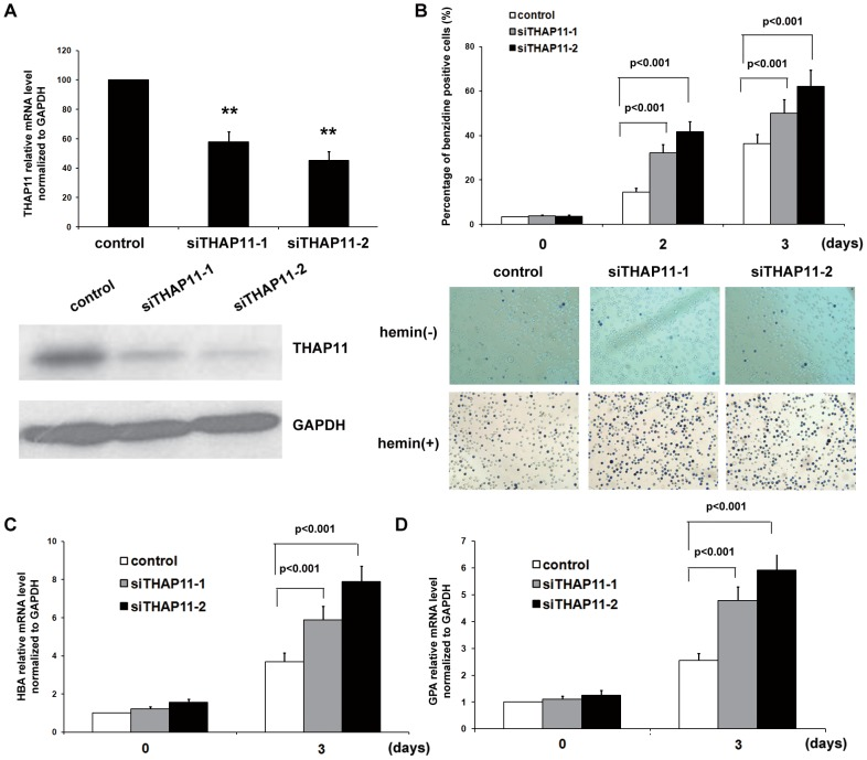 THAP11 knockdown enhances hemin induced erythroid differentiation of K562 cells. (A) K562 cells were infected with control lentivirus or THAP11 RNAi lentivirus (siTHAP11-1 and siTHAP11-2) and then the GFP positive cells were sorted. The THAP11 expression level was detected by real-time PCR (upper panel) and Western blot analysis (lower panel). Then the cells were treated with 40 µM hemin for the indicated lengths of time. (B) Benzidine-positive cells were counted. (C) HBA and (D) GPA mRNA levels were measured using real-time PCR analysis.