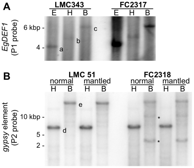 Determination of copy number by Southern blot. A: EgDEF1 gene; B: gypsy retroelement. One L2T-related genotype (left: LMC343 or LMC51) is compared to one non-L2T-related genotype (right: FC2317 or FC2318). Lowercase letters signal the hybridizing bands that are predicted by the in silico digestion of the Eg133H20 BAC sequence with the appropriate restriction enzyme (a: 4,069 bp <t>EcoRI</t> fragment; b: 4,841 bp HindIII fragment; c: 6,251 <t>BamHI</t> fragment; d: 6,138 bp HindIII fragment; e: 13,132 bp BamHI fragment), asterisks indicate supernumerary bands.