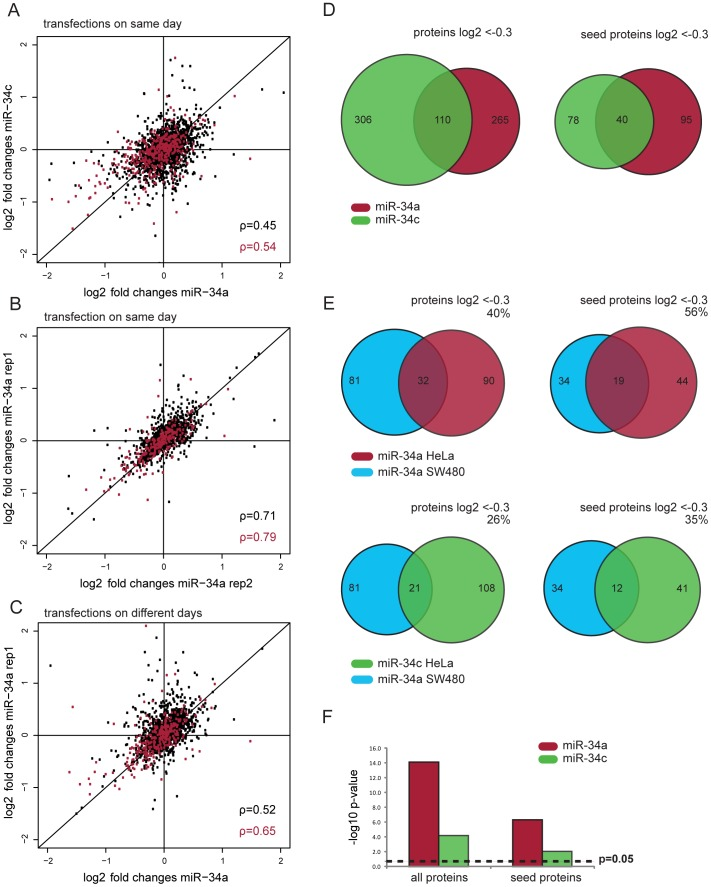 Proteomic comparison of miR-34a and miR-34c targets. ( A ) The correlation of log2 fold changes between miR-34a and miR-34c in the same transfection experiment (n = 2419) show a lower Spearman correlation than the two replicates of miR-34a (n = 1404) ( B ). This holds also true when comparing miR-34a experiments from different days (n = 1777) ( C ). Spearman coefficients for all proteins are marked in black, while seed containing proteins are indicated in red. ( D ) The overlap of common targets between miR-34a and miR-34c is rather low. ( E ) The overlap of miR-34a targets (–0.3 log2 FC) from SW480 cells [29] is bigger with miR-34a than with miR-34c targets in our HeLa dataset. Venn diagrams show the overlap of the 81 down-regulated proteins quantified in both the Sw480 and our HeLa dataset. Numbers in Venn diagrams depict total number of proteins down-regulated by log2