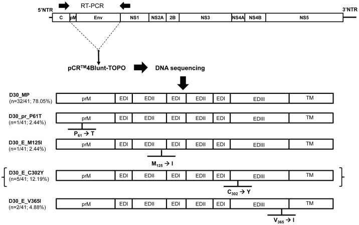 Construction of recombinant DENVs based on virus samples from patient plasma. RNA was extracted from the plasma of patient D30 and the prM-E encoding region of DENV was amplified by RT-PCR and cloned into the pCR4Blunt-TOPO vector for DNA sequence analysis. Representative prM-E region variants were selected and used to construct full-length DENV cDNA clones based on plasmid pmMW/R05-624. The resultant full-length cDNAs containing D30-derived variants were used as templates for RNA synthesis, and in vitro -transcribed viral RNAs were transfected into C6/36 cells. Supernatants from transfected cells were passaged once in C6/36 to obtain adequate quantities of viruses. EDI, envelope domain I. EDII, envelope domain II. EDIII, envelope domain III. TM, transmembrane. The recombinant DENV clone in brackets was excluded from further study due to an inadequate titer.