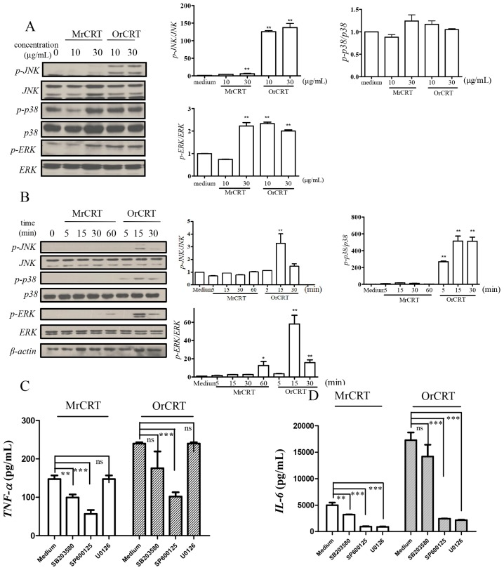 The involvement of MAPK in rCRT-induced TNF-α and IL-6 protein expression. ( A , B ) MAPK activation in macrophages stimulated with various concentrations of MrCRT or OrCRT for 30 min ( A ), or with 10 μg/mL MrCRT or OrCRT for different time periods ( B ). Cell lysates were analyzed by SDS-PAGE and immunoblotted for total MAPK and phophorylated MAPK . Semi-quantitative densitometric analysis of Western blots was shown in the right panels; ( C , D ) The involvement of MAPK in rCRT-induced TNF-α and IL-6 production. Macrophages were pretreated with 30 μM SB203580, SP600125 and U0126, and then stimulated with 10 μg/mL MrCRT or OrCRT for 24 h. TNF-α ( C ) and IL-6 ( D ) in supernatant were quantitated by ELISA. * p