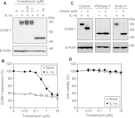 Ursolic acid affects N-linked oligosaccharide processing of ICAM-1. (A) A549 cells were treated with various concentrations of tunicamycin for 1 h and then incubated with (+) or without (−) IL-1α (0.25 ng/ml) for 6 h. Cell lysates were analyzed by Western blotting. Data are representative of three independent experiments. (B) A549 cells were preincubated with various concentrations of tunicamycin for 1 h and then incubated with (filled circles) or without (open circles) IL-1α (0.25 ng/ml) for 6 h. Cell-surface ICAM-1 expression was measured by the Cell-ELISA assay. ICAM-1 expression (%) is represented by the means ± S.D. of triplicate cultures. ∗∗ P