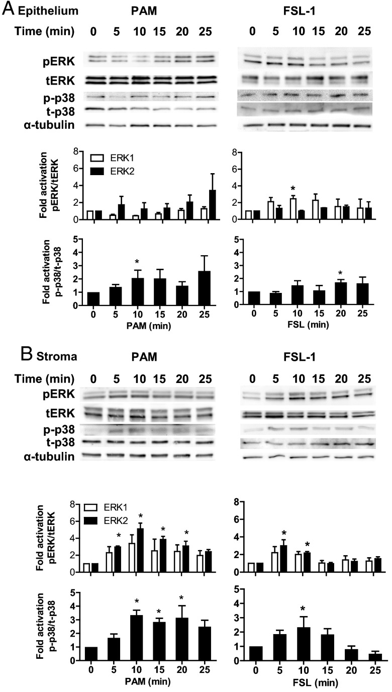 Activation of MAPK in endometrial cells treated with lipopeptide PAMPs. Endometrial epithelial cells (A) and stromal cells (B) were collected 0, 5, 10, 15, 20, or 25 minutes after treatment with 100 ng/mL PAM or 100 ng/mL FSL-1. The protein from the cells was analyzed by SDS-PAGE and immunoblotted with antibodies against total and phosphorylated forms of p38 (t-p38 and p-p38) and ERK1/2 (tERK1/2 and pERK1/2; □, tERK2; ■, pERK2), and α-tubulin as visual confirmation of the precision of protein loading and transfer. The image for each cell type is representative of 3 independent experiments for PAM (left panel) or FSL-1 (right panel), and the histograms represent the mean ± SEM of densitometric analysis of the ratio of phosphorylated p-p38 to t-p38, pERK1 to tERK1 or pERK2 to tERK2, expressed as fold activation compared with time 0. Values differ from time 0 when data were analyzed by ANOVA, using the Dunnett pairwise multiple comparison t test: *, P