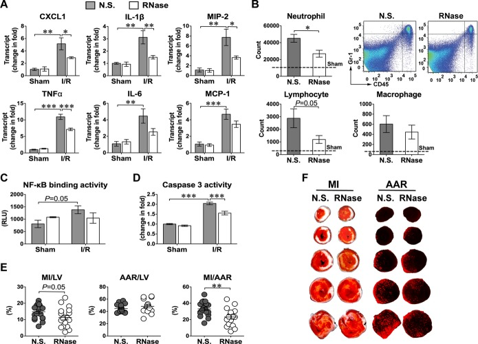 Effect of RNase administration on myocardial inflammation, apoptosis, and infarct sizes after I/R. A, Effect of RNase on myocardial cytokine mRNA. Mice were treated with N.S. or RNase and subjected to sham or I/R. Three hours after reperfusion, myocardial cytokines were analyzed by qRT‐PCR. Sham, n=3; I/R, n=5. B, Effect of RNase treatment on myocardial infiltration of CD45 + 1/Gr‐1 + neutrophil, CD3 + T lymphocyte and F4/80 + macrophage after I/R. A representative FACS plot of neutrophils is shown. C, Effect of RNase on myocardial NF‐κB activity. IR. Sham, n=3; I/R, n=5. D, Effect of RNase on myocardial caspase‐3 activity after 4 hours of reperfusion. Sham, n=3; I/R, n=5. E, Effect of RNase on MI after I/R. n=19/group. F, Representative of TTC staining (left) and fluorescent microsphere distribution (right) of myocardial sections from N.S.‐ or RNase‐treated mice. AAR is indicated by the areas devoid of red fluorescent light and the infarct area shown as white. * P