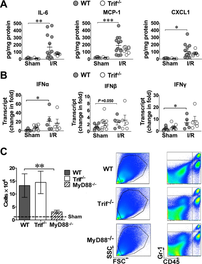 Lack of Trif has no impact on myocardial inflammation after I/R. Mice were subjected to I/R (45 min/4 h or 24 h). A, Myocardial <t>cytokine</t> protein expression. Twenty‐four hours after reperfusion, cytokine proteins were measured using Luminex. B, Myocardial cytokine <t>mRNA.</t> Four hours after reperfusion, IFN mRNAs were assayed using <t>qRT‐PCR.</t> C, Myocardial neutrophil infiltration after I/R. Left, total CD45 + /Gr‐1 + cells in the hearts of WT, Trif −/− , or MyD88 −/− mice that were subjected to sham or I/R. n=3 mice/group. Right, representative examples of FACS plots of myocardial cells from mice subjected to I/R. FSC, forward scatter; SSC, side scatter. * P
