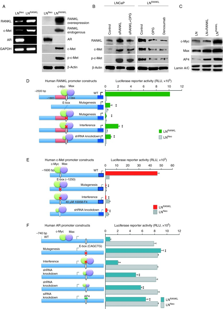 RANKL induces expression of RANKL and c-Met but suppresses AR expression/activation through c-Myc/Max and AP4 transcription factors in the LNCaP cell background. (A) RANKL overexpression upregulates endogenous RANKL and c-Met expression and c-Met phosphorylation but suppresses AR expression. (B) Exogenous RANKL treatment or intrinsic RANKL expression induces endogenous RANKL expression, c-Met expression, and c-Met phosphorylation. Inductions are partly sensitive to OPG or anti-RANKL antibody (denosumab) treatments. (C) RANKL–RANK signaling increases the level of c-Myc and Max expression. Increased c-Myc and Max nuclear proteins were observed in LNCaP cells treated with RANKL or in LN RANKL cells as evaluated by western blot analysis. Lamin A/C was used as internal control. (D) Activities of human RANKL, (E) c-Met, and (F) AR promoter-luciferase reporter constructs were compared between LN RANKL and LN Neo cells. Site-directed mutagenesis was used to remove the E-box, the cis -element required for c-Myc/Max interaction. Complementary experiments confirmed the results by assaying promoter reporter activities under 10058-F4 (40 μM) exposure, known to inhibit c-Myc function by interference with its dimerization with Max, and by shRNA knockdown of the c-Myc, Max, or AP4 to suppress c-Myc/Max or AP4 binding to its E-box cis -element (* P
