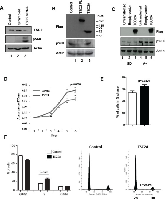 TSC2 isoform A does not inhibit mTOR signalling and increases cell proliferation (A) Knock-down of TSC2 protein by siRNA depletion targeting the C-terminal of the protein causes an increase in mTOR signalling, as measured by changes in phosphorylation of S6K. (B) Conversely, over-expression of full-length TSC2 in HEK293 cells caused a reduction in S6K phosphorylation (lane 2), however unlike full-length TSC2 the TSC2A isoform does not inhibit mTOR activation (lane 3). (C) Over-expression of TSC2A in LNCaP cells did not inhibit mTOR signalling under both steroid-deplete and androgen treated conditions. Analysis of cell proliferation by (D) MTT assay and (E) incorporation of EdU over 6 hours indicated that expression of the TSC2A isoform increases LNCaP cell growth. (F) Similarly, cell cycle analysis of DAPI stained cells by flow cytometry shows that TSC2A decreases the percentage of cells in G1/G0 and increases the percentage of cells in S phase.