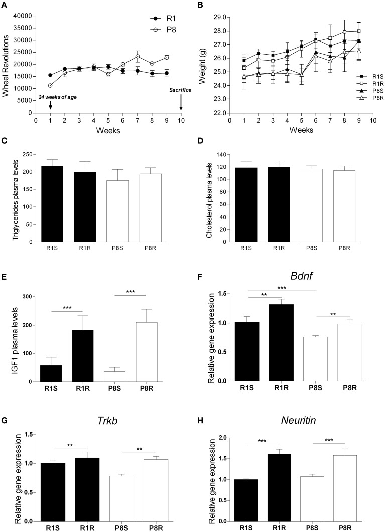 Beneficial effects of 8 weeks of exercise training in SAMP8 senescent mice . ( A ) Mean wheel revolutions/week register in exercised SAMR1 and SAMP8 mice; (B) Body weight (g) mean during exercise intervention in sedentary and exercised groups from both SAMR1 and SAMP8 strains. (C) Triglyceride plasma levels (mg/dL). (D) Cholesterol plasma levels (mg/dL). (E) IGF1 plasma levels (ng/mL). (F–H) Gene expression of Bdnf (F) , Trkb (G) , and Neuritin (H) . Gene expression was measured by real-time PCR analysis from hippocampal mRNA using <t>TaqMan</t> <t>FAM-labeled</t> specific probes and expressed relative to TBP ( n = 3–4/group for IGF1 and n = 5–8/group for all other measures). Mean ± standard error are represented; Two-Way ANOVA results are indicated as ** p