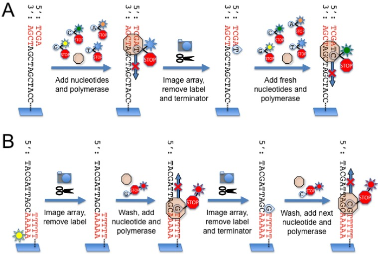 (A) Illumina sequencing chemistry. A sequencing primer (red) is annealed to the template molecules linked to the flow cell surface. Next, DNA polymerase and a mixture of fluorescently labeled nucleotides are added to the flow cell. The nucleotides are modified with a cleavable terminator moiety such that only one nucleotide can be incorporated during each sequencing cycle. After nucleotide incorporation, the array is imaged and the fluorescent signals are recorded for each cluster. The terminator moiety and fluorescent label are cleaved off and removed, and fresh nucleotides and polymerase are added to begin the next sequencing cycle. ( B) Helicos sequencing chemistry. Template molecules modified by the addition of adenosines to the 3' end are hybridized to poly-T oligonucleotides covalently linked to the surface of the flow cell. The template molecules are fluorescently labeled at the terminal 3' adenosine so that the instrument can record the position of each template on the flow cell prior to the sequencing reaction. After the first image is acquired, the fluorescent label is removed and washed away. Next, DNA polymerase and one of four fluorescently labeled nucleotides (A, T, C or G) are introduced to the flow cell. Similar to the Illumina approach, the nucleotides are modified with terminator moieties to prevent multiple nucleotide additions during a single sequencing cycle. After nucleotide incorporation, the array is imaged and the fluorescent signals recorded. The fluorescent label and terminator moiety are removed, and the next cycle of sequencing commences with the next fluorescently labeled nucleotide.