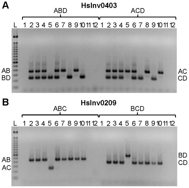 Multiplex iPCR results of two validated inversions in nine human samples. A . HsInv0403 ABD and ACD iPCRs. Band sizes are: AB, 364 bp; BD, 239 bp; AC, 350 bp; CD, 225 bp; and AD, 265 bp. B . HsInv0209 ABC and BCD iPCRs. Band sizes are AB, 435 bp; AC, 243 bp; BD, 543 bp; CD, 351 bp; and BC, 470 bp. For both panels the genomic DNA samples are: 1, negative control; 2, NA12156; 3, NA12878; 4, NA15510; 5, NA18507; 6, NA18517; 7, NA18555; 8, NA18956; 9, NA19129; 10, NA19240; 11, DNA without restriction enzyme; 12, DNA without T4 DNA ligase; and L, 100 bp DNA Ladder (Invitrogen).