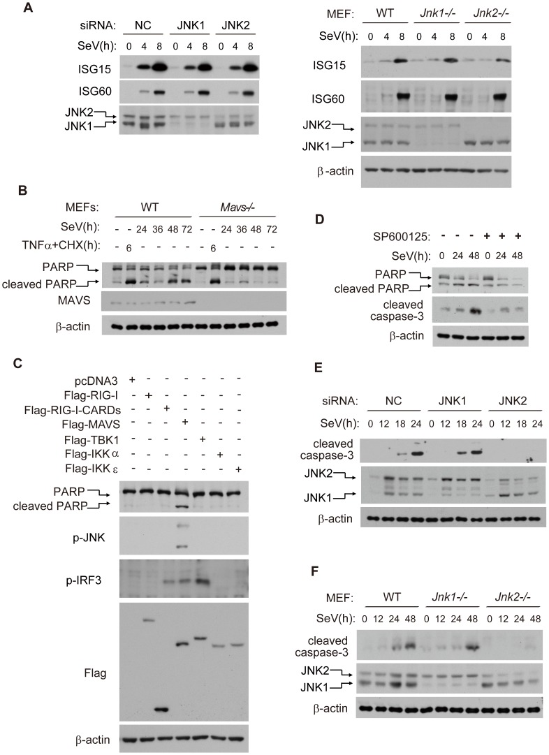 JNK2, but not JNK1, is essential for virus-induced apoptosis. ( A ) Control, JNK1 and JNK2 siRNA knock-down HEK293 cells ( left ), or wild type, Jnk1 −/− and Jnk2 −/− MEF cells ( right ), were treated with SeV (for HEK293 MOI = 1, for MEF MOI = 4) for the indicated times. Cell lysates were analyzed by western blot, probing for ISG15, ISG60, JNK1 and JNK2 with the indicated antibodies. ( B ) Wild type and Mavs −/− MEF cells were treated with SeV (MOI = 4), or TNF-α (10 ng/ml) plus cycloheximide (CHX, 10 µg/ml) for the indicated times. Cell lysates were collected for western blot analysis using <t>anti-PARP</t> antibody to determine cell apoptosis and using anti-MAVS antibody to measure the deficiency of MAVS protein. ( C ) HEK293 cells were transfected with the indicated plasmids and 24 hours later, cell lysates were collected for western blot analysis of PARP, phosphorylated JNK, phosphorylated IRF3, Flag-tagged proteins and β-actin. ( D ) HEK293 cells were treated by SeV (MOI = 1) with or without JNK kinase inhibitor SP600125 (5 µM). Cell lysates were collected for western blot analysis of PARP, cleaved <t>caspase-3</t> and β-actin to probe for cell apoptosis. ( E ) Control, JNK1 or JNK2 knocked down HEK293 cells were treated with SeV (MOI = 1) for the indicated times. Cell lysates were collected for western blot analysis to measure cell apoptosis using the indicated antibodies. ( F ) Wild type, Jnk1 −/− or Jnk2 −/− MEF cells were treated with SeV (MOI = 4) for the indicated times. Cell lysates were collected for western blot analysis.