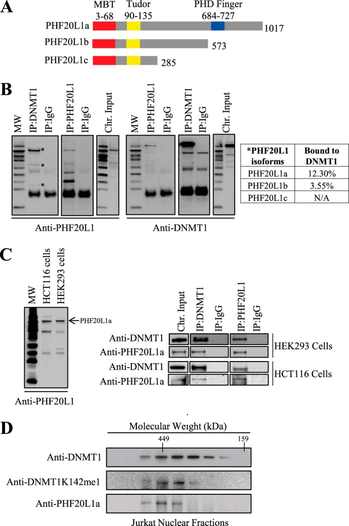 PHF20L1 binds to DNMT1 in vivo . A , schematic illustrating the three different known isoforms of PHF20L1. All three isoforms contain an MBT and Tudor domain, but only isoform a, the largest, contains a PHD finger domain. B , co-immunoprecipitation ( IP ) of DNMT1 and PHF20L1 reveals in vivo binding of these two proteins. Molecular weight marker and immunoprecipitation antibodies, anti-DNMT1, anti-PHF20L1, and anti-IgG, are indicated at the top of the Western blots. Antibodies used for protein detection, anti-PHF20L1 and anti-DNMT1, are indicated to the bottom of the Western blots. Immunoprecipitations revealed that DNMT1 binds all three isoforms of PHF20L1 (indicated by an asterisk ), but the largest PHF20L1a isoform is the predominant species bound to DNMT1 on the chromatin. Densitometry measurements of PHF20L1 immunoprecipitated with DNMT1 antibody were compared with its corresponding chromatin ( chr .) input sample to determine the percentage of PHF20L1 bound to DNMT1. C , PHF20L1a binds DNMT1 in human HEK293 and HCT116 cells. On the left is a Western blot revealing that PHF20L1a (indicated by an arrow ) is the predominant chromatin binder in both HEK293 and HCT116 cells. To the right are Western blots of DNMT1 and PHF20L1a co-immunoprecipitations in HEK293 and HCT116 cells, revealing in vivo interaction of these two proteins. D , size exclusion chromatography fraction of nuclear extract, demonstrating co-elution of DNMT1K142me1 and PHF20L1a with molecular weight markers indicated at the top . Western blot antibodies for DNMT1, DNMT1K142me1, and PHF20L1a are shown to the left .