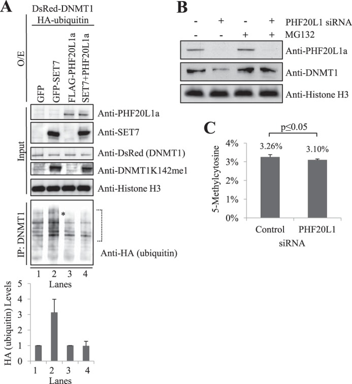PHF20L1a inhibits DNMT1K142me1 ubiquitination and degradation. A , FLAG-PHF20L1a overexpression prevents ubiquitination of DNMT1K142me1. Overexpression ( O/E ) of GFP, GFP-SET7, FLAG-PHF20L1a, or a combination of GFP-SET7 and FLAG-PHF20L1a are indicated at the top of the Western blot. Overexpression of DsRed-DNMT1 and HA-ubiquitin and subsequent treatment with the MG132 proteasome inhibitor were carried out for all samples. Immunoprecipitations ( IP ) with anti-DNMT1 antibody were subsequently performed, and the precipitate was analyzed by Western blot. Input was revealed with anti-PHF20L1a, anti-SET7, anti-DsRed-DNMT1, anti-DNMT1K142me1, and anti-histone H3 antibodies, whereas DNMT1 immunoprecipitations were revealed with anti-HA-ubiquitin antibody (indicated on the right ). Full-length HA-ubiquitinated DNMT1 was present (*), but smaller degradation products were prevalent. Densitometry measurements of anti-HA-ubiquitin, normalized to histone H3, were done within the indicated brackets to show levels of ubiquitinated full-length DNMT1 (arbitrary units). B , loss of chromatin-bound DNMT1 in response to PHF20L1 knockdown is mediated by proteasomal degradation. siRNA-mediated knockdown of PHF20L1 and subsequent treatment with the MG132 proteasomal inhibitor are indicated at the top of the Western blot. Anti-PHF20L1a, anti-DNMT1, and anti-histone H3 antibodies used in the Western blot are indicated to the right of the blot. C , LC-MS analysis reveals that siRNA-mediated knockdown of PHF20L1 significantly reduces global levels of 5-methylcytosine. Genomic DNA was digested to single nucleosides for LC-MS analysis. Methylation changes were normalized to total levels of corresponding nucleotides. Total levels of 5-methylcytosine were significantly lower ( p = 0.029) after transfection of PH20L1 siRNA compared with control siRNA. Data represent two experimental replicates and four technical replicates. Error bars , S.D.