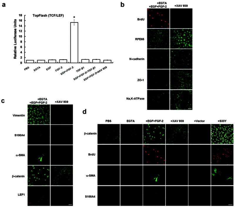 EMT with proliferation induced by EGTA with <t>EGF+FGF-2</t> is caused by Wnt/β-catenin signaling by rescued by SS3Y β-catenin. (a) The TCF/LEF reporter activity was silent in cells treated by <t>PBS,</t> EGTA, EGF, FGF-2, TGF-β1, or EGF+FGF-2+TGF-β1 but elevated 15-fold by EGTA with EGF+FGF-2. The latter was abolished by XAV939 (*, P