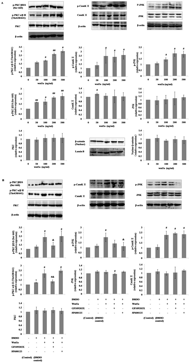 Modulation of noncanonical Wnt signaling in mMSCs with the supplementation of Wnt5a, SP600125 or GF109203X in general culture conditions. The p-PKC (pan) (β II Ser660), p-PKCα/β II (Thr638/641), PKC pan, p-SAPK/JNK (Thr183/Tyr185), SAPK/JNK, p-CamK II, CamK II β/γ/δ, and nuclear β-catenin levels in mMSCs cultured in 10% FBS-DMEM/F12 media added with different concentrations of Wnt5a ( A ) or 500 ng/ml Wnt5a plus 5 µmol/L SP600125 or 2.5 µmol/L GF109203X for 2 hours were evaluated through western blotting ( B ). (n = 3; * P