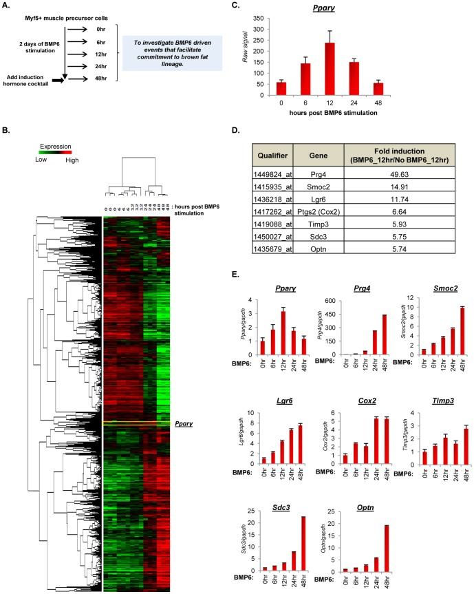 BMP6 pretreatment induces temporal expression of Pparγ and commitment phase candidate genes. ( A ) Schematic representation of the BMP6 pretreatment segment of differentiation landscape illustrated in Figure 1A indicating the time points at which cells were harvested. ( B ) Heat map depiction and unsupervised clustering analyses of BMP6 target gene signature in cells stimulated with 250 ng/mL BMP6 and harvested at 0, 6, 12, 24 and 48 hours post BMP6 stimulation. Two way ANOVA was employed to extract 4046 significantly changing qualifiers ( p≤0.01 ) that were modulated as a function of treatment (BMP6 stimulation) and time (from 6 hours to 48 hours post BMP6 stimulation). Pparγ is highlighted in the heat map. Each gene is represented by a single row and each sample, in three independent biological replicates for each time point, by a column. Two distinct clusters indicate genes induced (red) and repressed (green). ( C ) Bar graph representation of Pparγ transcript levels at indicated time points measured using Affymetrix array. ( D ) Tabular representation of selected qualifiers, associated gene names and gene fold induction in cells stimulated with BMP6 relative to untreated cells at 12 hours. ( E ) Q-PCR validation of selected genes in cells stimulated with BMP6 for indicated time points. The expression in basal state (0 hour time point) was set to 1, and results represent triplicate analyses of three independent biological replicates (mean ± SD). Similar results were obtained in at least two independent analyses. Also see Figure S3 .