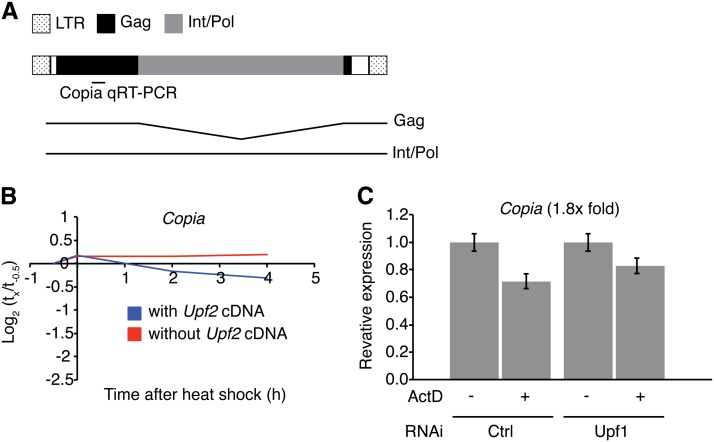 Copia RNA levels are indirectly regulated by the NMD pathway. (A) Copia genomic (boxes) and transcript structures. Also indicated is the quantitative reverse-transcription polymerase chain reaction (qRT-PCR) amplicon. (B) qRT-PCR analysis of Copia of the same time course described in Figure 2 . (C) Copia levels in S2 cells, measured by qRT-PCR, using the assay described Figure S2 (fold change after Upf1 depletion indicated in parentheses). Error bars represent ± 1 SD.