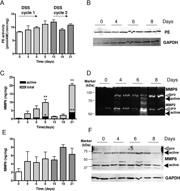 Proteases in dextran sodium sulfate (DSS)-induced colitis. Intestinal prolyl endopeptidase (PE) activity (A) of huCXCR2 knock-in mice treated with 2-day cycles of DSS over time confirmed by immunoblot with glyceraldehyde-3-phosphate dehydrogenase (GAPDH) as a loading control (B). Active and total matrix metalloproteinase 9 (MMP9) levels (C) were confirmed by zymography (D), and MMP8 levels (E) were confirmed by immunoblot with GAPDH as a loading control (F). All values are mean+SEM (n=3–8). *p