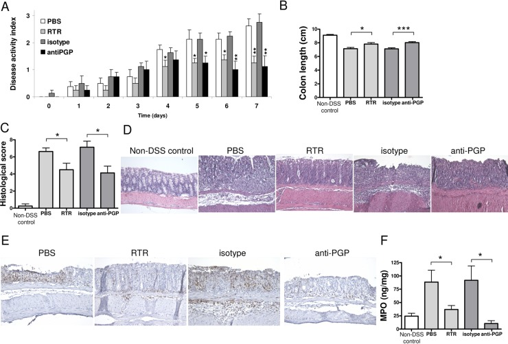 Proline–glycine–proline (PGP) neutralisation in dextran sodium sulfate (DSS)-induced colitis. The Disease Activity Index (A) and colonic length (B) of huCXCR2 knock-in mice treated with 1.5% (w/v) DSS for 5 days, and daily intravenous injections of arginine–threonine–arginine (RTR) with phosphate-buffered saline (PBS) as control, or PGP antibody with isotype antibody as control, and non-DSS controls. (C) Histopathological scoring and (D) representative images of H E-stained intestinal sections of all groups. (E) Representative images of neutrophil (LY-6B.2) immunohistochemistry on intestinal sections of DSS-treated animals treated with RTR, PBS, PGP antibody and isotype antibody. (F) Myeloperoxidase (MPO) levels in intestinal tissue homogenates of all groups as a measurement of neutrophil infiltration. Original magnifications ×200. All values are mean+SEM (n=8). Significance of differences determined by two-tailed Student t test: *p