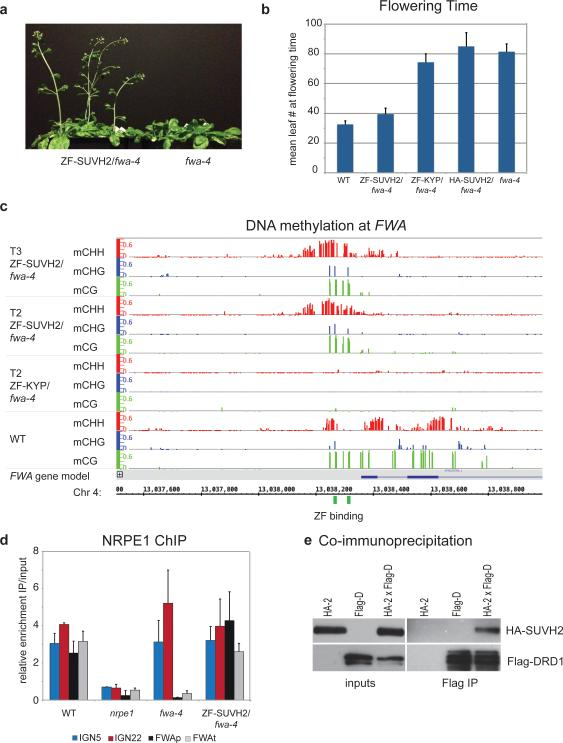 Tethered SUVH2 recruits Pol V through DRD1, resulting in DNA methylation and a late-flowering phenotype a. Plants grown side-by-side to illustrate early flowering of ZF-SUVH2 in fwa-4 (T2 plants) compared to fwa-4. b. Flowering time of Columbia-0 (WT), ZF-SUVH2 in fwa-4 , ZF-KYP in fwa-4 , HA-SUVH2 in fwa-4 , and fwa-4 . Flowering time was determined by counting all rosette and cauline leaves up until the terminal flower. The average leaf number and standard deviation of between 20-30 plants was determined. Mean +/− SD. c. Percent methylation at each cytosine in the FWA repeat region as determined by BS-seq in T2 and T3 ZF-SUVH2/ fwa-4 plants compared to T2 ZF-KYP/ fwa-4 (unmethylated) and WT (standard methylation pattern). ZF binding sites are shown in green and the FWA gene in blue. d. NRPE1 ChIP in WT (positive control), nrpe1 mutant (negative control), fwa-4 epiallele, and ZF-SUVH2/ fwa-4 . qPCR results of two well-characterized NRPE1 binding sites (IGN5 and IGN22) and two regions in FWA (FWAp: promoter; FWAt: transcript) are shown as enrichment of IP/input relative to negative control. Mean +/− SD of two biological replicas. e. Coimmunoprecipitation of HA-SUVH2 in Arabidopsis using Flag-DRD1. Left panels are inputs from the two parental strains (expressing either HA-SUVH2 (HA-2) or Flag-DRD1 (Flag-D)) and an F2 line expressing both HA-SUVH2 and Flag-DRD1 (HA-2xFlag-d). The right panels show elution from Flag-magnetic beads. Top panels are HA western blots, bottom panels are Flag western blots.
