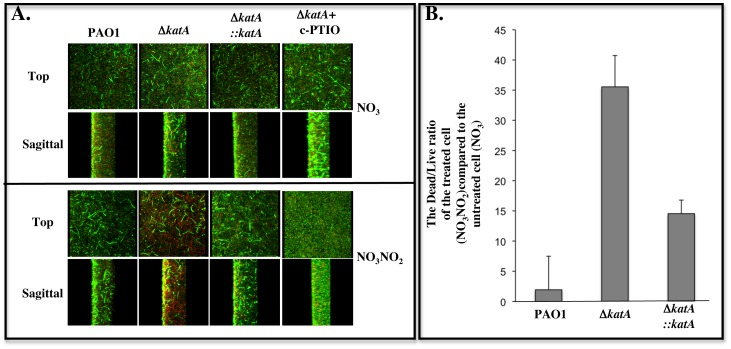 Susceptibility of Δ katA mutant biofilms to A-NO 2 − . Biofilms of wild-type P. aeruginosa PAO1, its Δ katA mutant, and the complemented mutant Δ katA :: katA were grown anaerobically in LBN broth for 24 hrs. After gently washing off the planktonic cells, the biofilm cells were then cultured anaerobically in fresh LB, pH 6.5 with 15 mM KNO 3 , or 15 mM KNO 3 + 15 mM NaNO 2 , or 15 mM KNO 3 + 15 mM NaNO 2 + 10 mM c-PTIO for additional 48 hrs. The biofilms were then stained with a viability stain containing the DNA binding agent Syto 9 (live, green cells) and dead (propidium iodide, red) according to the Materials and Methods, and such bacteria were observed by confocal laser scanning microscopy. A. Biofilm formation of P. aeruginosa PAO1, Δ katA mutant and Δ katA::katA in the absence of NaNO 2 (top panel, top and sagittal views, serving as control biofilms) and in the presence of NaNO 2 (lower panel, top and sagittal views, treated biofilms). Biofilms of the Δ katA mutant treated with 10 mM c-PTIO under both conditions were shown in far right panels. B. The ratio of dead/live cells in treated biofilms in Fig. 6A was calculated and normalized using ImageJ. The experiment was performed three times independently. The average values were plotted with standard error.