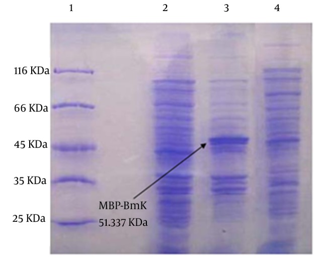 Expression of the Recombinant MBP-BMK Fusion Protein as Detected by Coomassie Blue Stained SDS-PAGE Lane 1: molecular weight marker, Lanes 2 and 3: pMAL-c2x-BMK proteins pattern before and after induction by IPTG, respectively. Lane 4: profile of pMAL-c2x proteins. The protein band corresponding to MBP-BMK is indicated by arrow.