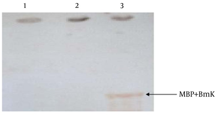 Western Blot Analysis of the Recombinant MBP-BMK Lanes 1 and 2: <t>pMAL-c2x</t> before and after IPTG induction, respectively; Lane 3: recombinant MBP-BMK protein.