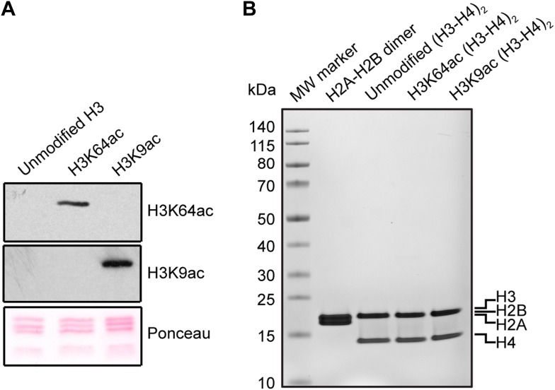 Validation of the substrates used in the in vitro assays. ( A ) Validation of H3 acetylation on the octamer substrates used in the in vitro assays. The immunoblots show the acetylation levels of the reconstituted octamers specifically acetylated either on H3K64 or H3K9 compared with the unmodified H3. Ponceau staining is shown as loading control. ( B ) Staining of protein gel used to check that equal amounts of proteins had been used in the experiments and to assess H2A–H2B dimer, as well as unmodified, H3K64ac, and H3K9ac tetramer qualities. DOI: http://dx.doi.org/10.7554/eLife.01632.016