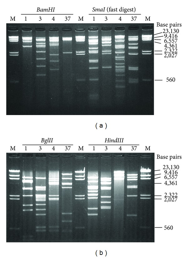 Picture of the REA. (a) REA pattern for BamHI and SmaI (fast digest). (b) REA pattern for BglII and HindIII . M shows Lambda DNA-HindIII digest marker. Numbers 1, 3, 4, and 37 show HAdV-1, -3, -4, and -37, respectively.