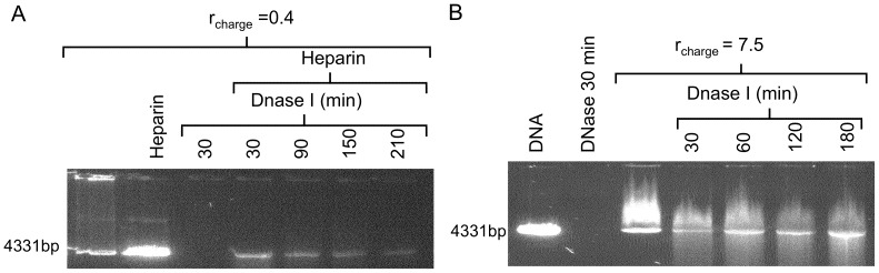 Protection of DNA against Dnase I digestion using gels stained with GelStar. (A) G4/DNA complexes with r charge = 0.4 are used and the untreated complex is loaded on lane 1. The 2 nd lane displays the dissociated complex after treatment with 10 μg mL −1 heparin for 30 min. All other samples (lanes 3–7) are treated with 1 unit of Dnase I for the indicated time periods. To the samples in lanes 4–7, heparin was added after the Dnase I enzyme was heat inactivated. (B) Linearized plasmid DNA only is loaded onto lane 1 and the sample loaded onto lane 2 contains DNA, treated with Dnase I for 30 min. Samples loaded onto lanes 3–7 contain DNA and CTAB ( r charge = 7.5). Samples loaded onto lanes 4–7 are treated with Dnase I for the time periods indicated.