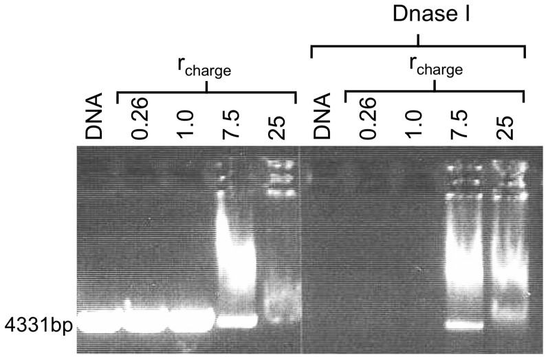 Protection of DNA against Dnase I digestion by CTAB using a gel stained with EtBr. A gel electrophoresis gel where samples in lanes 1 and 6 contain linearized plasmid DNA only (control). The remaining lanes contain CTAB/DNA of the r charge values indicated. The samples loaded onto lanes 6–10 were incubated with Dnase I for 20 min following DNA condensation. At r charge ≤1.0, the DNA is completely degraded. At higher concentrations of CTAB, DNA degradation is inhibited.