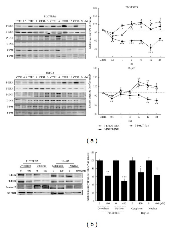 The activation of MAPKs contributes to LQ-mediated apoptotic cell death. (a) 400 μ M LQ treatment resulted in a reduction of the expression of P-ERKs and an increase of the activation of JNK and P38 from 0.5 h to 24 h treatment. (b) The migration of P-ERKs from cytoplasm to nucleus was suppressed by LQ after 3 h exposure. Quantification data of the expressions of P-ERKs, P-JNK, and P-P38 were normalized by corresponding T-ERKs, T-JNK, and T-P38. Data are expressed as mean ± SD ( n = 3) and analyzed using one-way ANOVA. * P