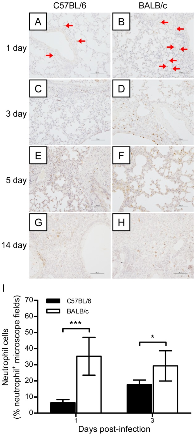 Dynamic changes in neutrophil infiltration in the lung tissues of mice after H7N9 virus challenge. The experimental setup was the same as that described in Figure 2 . (A–H) Immunohistochemical staining of neutrophils in the lungs of BALB/c and C57BL/6 mice on days 1, 3, 5, and 7 postviral infection. The red arrows indicate infiltrating neutrophils. (I) Semiquantitative assessments of neutrophil infiltration in the lungs on days 1 and 3 postviral infection ( n = 6). The data are expressed as the mean ± SD (bar). * and *** indicate P